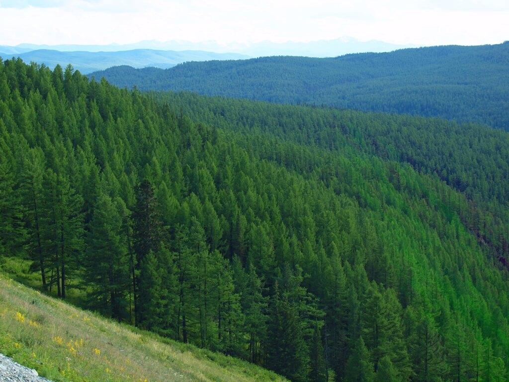 Floresta Taiga está a desaparecer